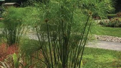 Cyperus géant