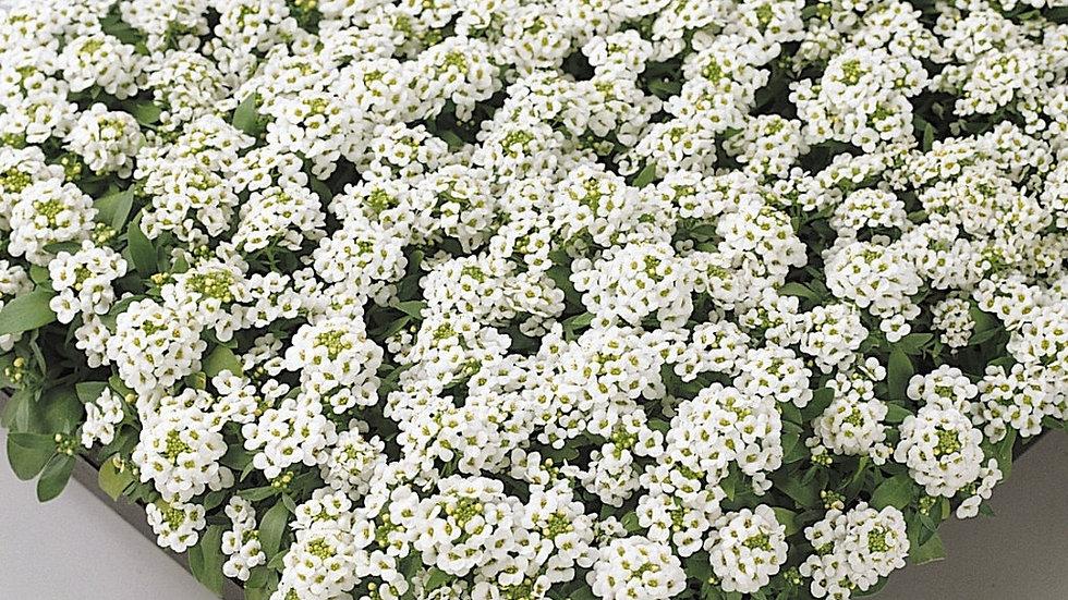 Allysum blanc