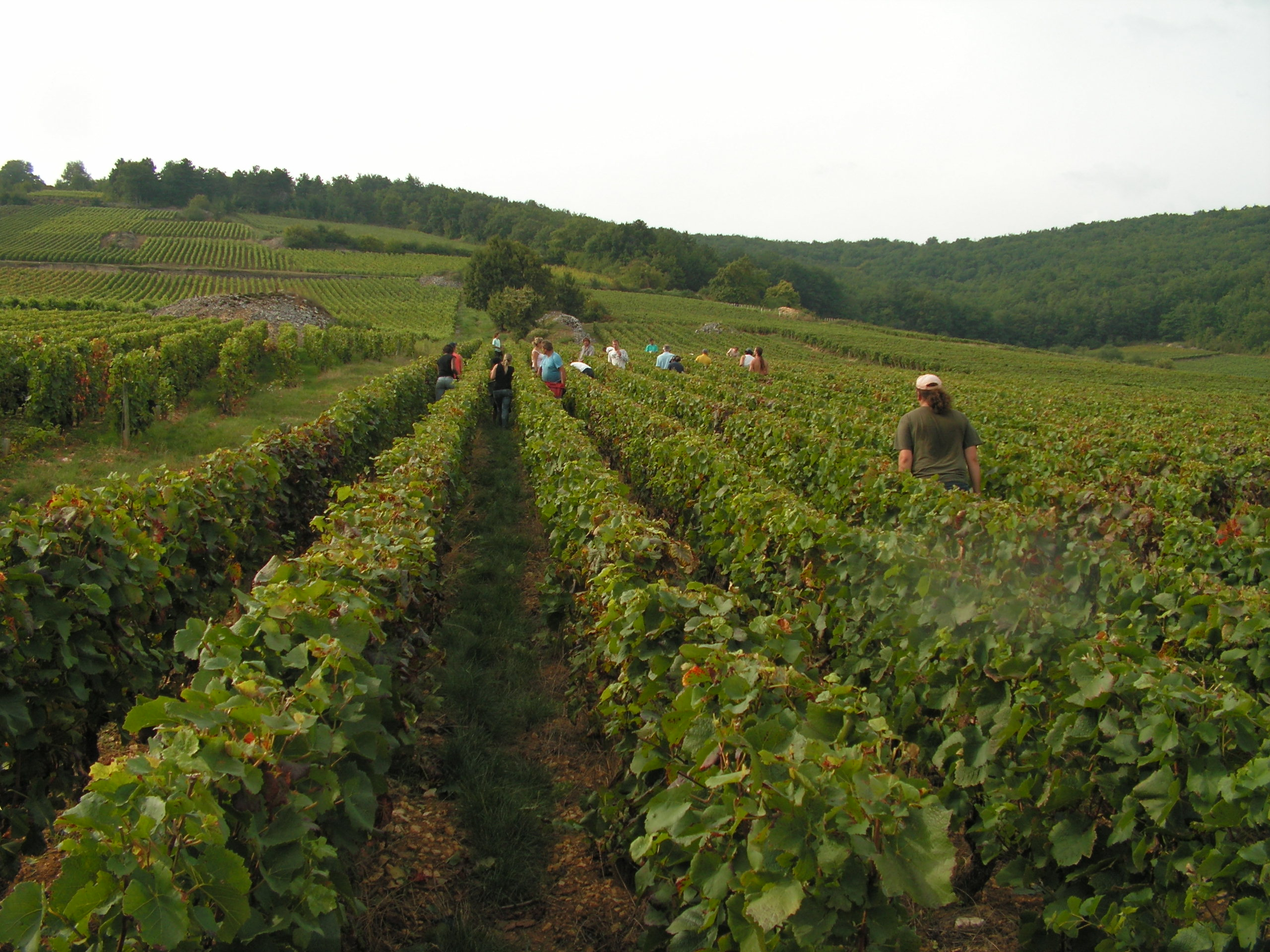 Vendanges à Santenay en 2009