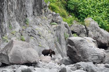 Yezo brown bear (Ursus arctos lasiotus)