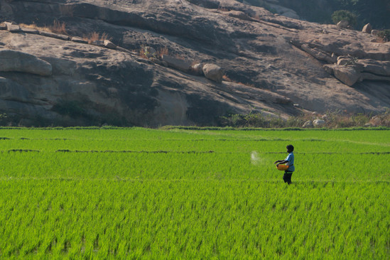 rice fields in Hampi (Karnataka)