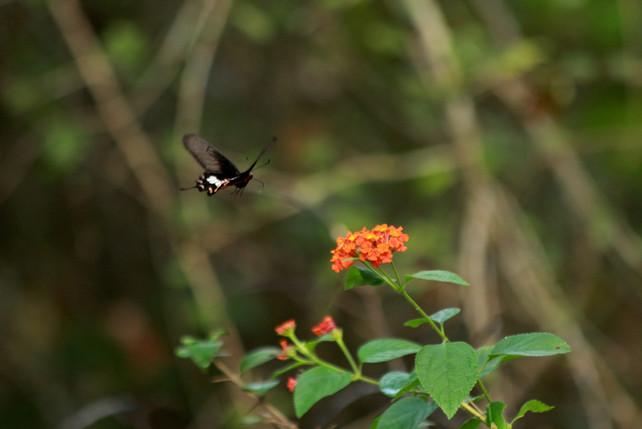 Andaman clubtail (Losaria rhodifer)