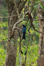 greater racket-tailed drongo (Dicrurus paradiseus)