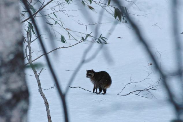 racoon in Hokkaido