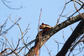 Indian giant squirrel (Ratufa indica)