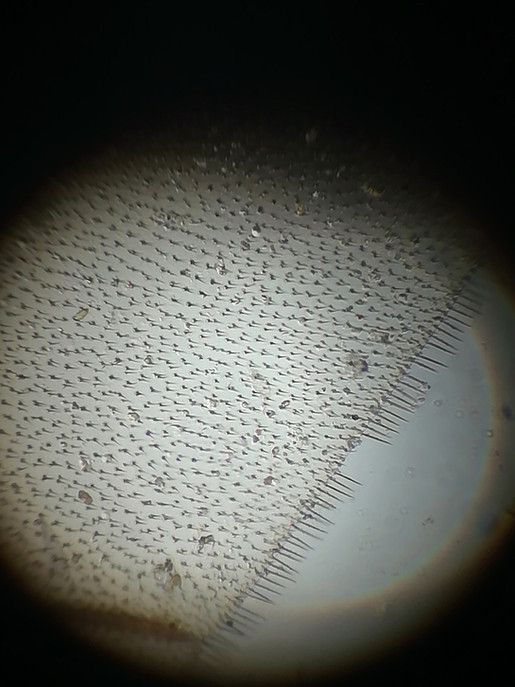 Mosquito's wing (zoom x10)