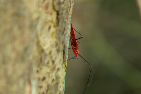 red cotton bug (Dysdercus sp.)