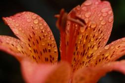Siberian Lily (Lilium pensylvanicum)
