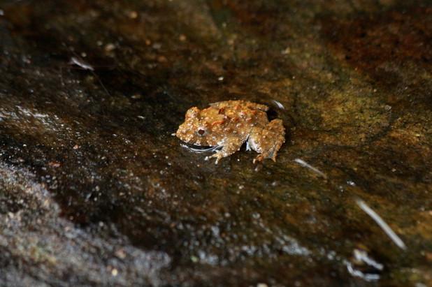 Indian burrowing frog