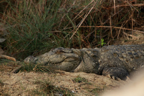 Mugger crocodile (Crocodylus paluster)