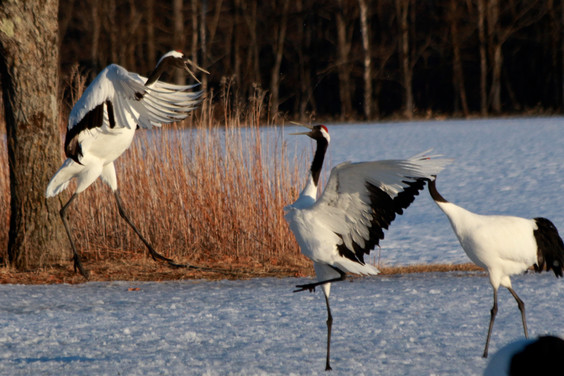 red-crowned cranes (Grus japonensis)