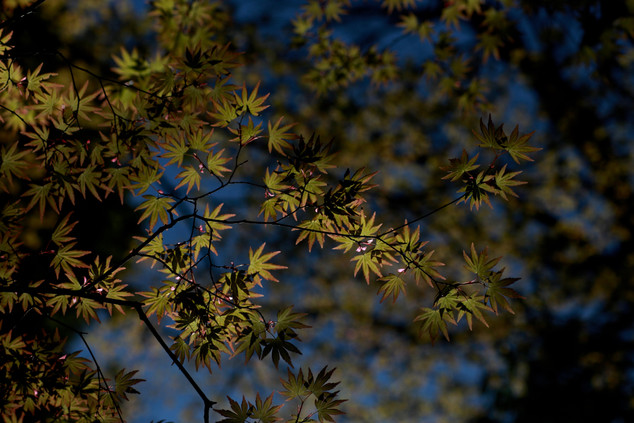 Amur maple (Acer japonicum)