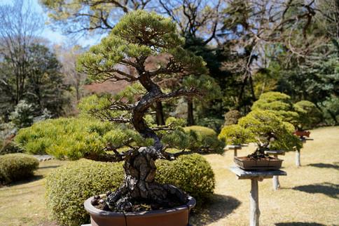 bonsai in Tokyo
