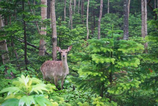 Yezo sika deer (Cervus nippon yesoensis)