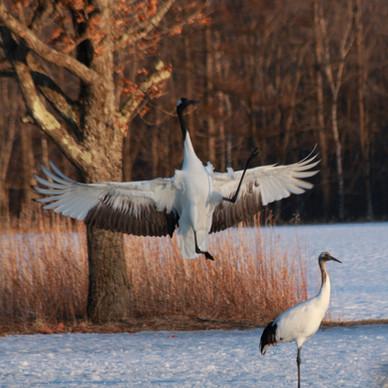 red-crowned cranes (Grus japonensis)