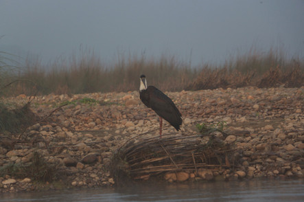 woolly necked stork (Ciconia episcopus)