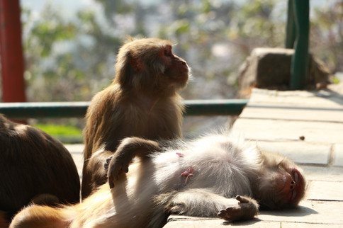 Monkeys in Swayabunath
