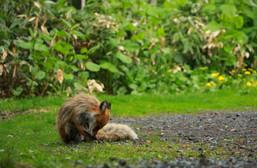 ezo red fox (Vulpes vulpes schrencki)