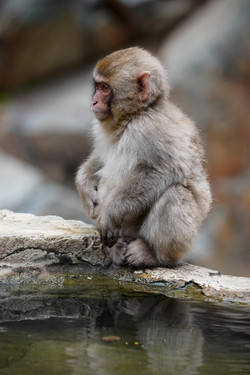 singe au bord d'une source chaude