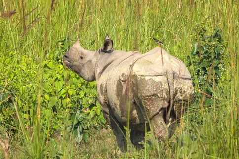unicorn rhinoceros in Chitwan National Park