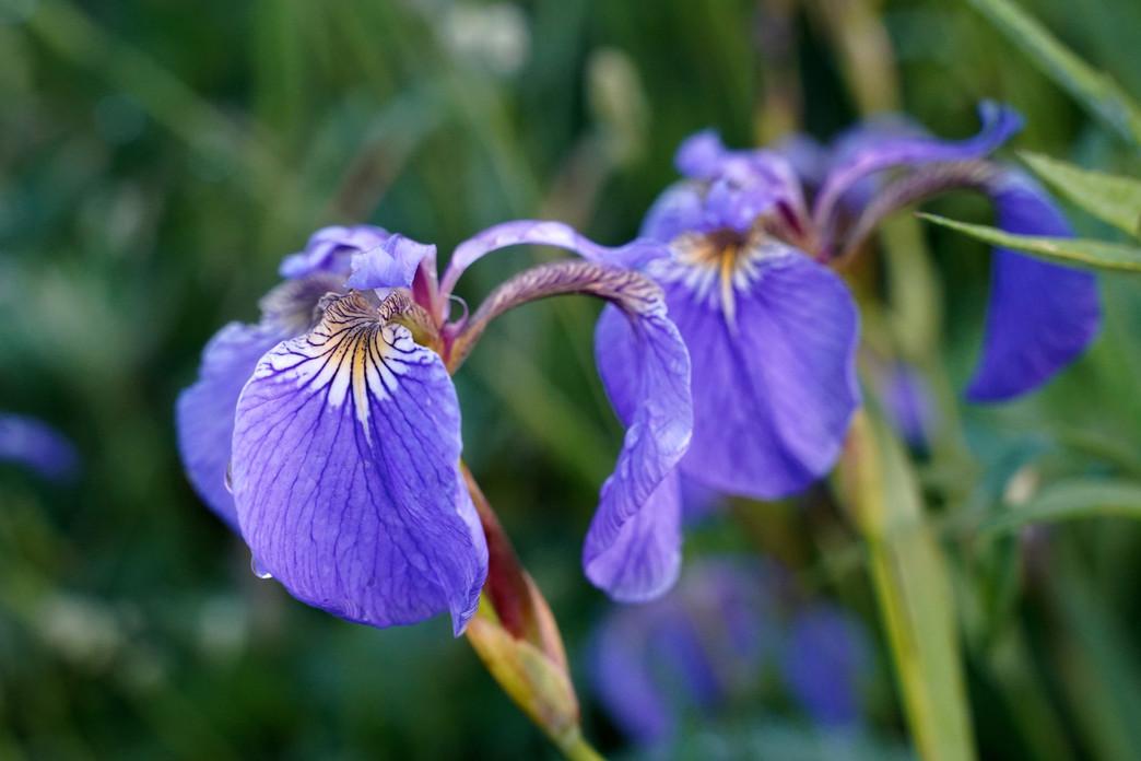 Arctic Iris (Iris setosa)
