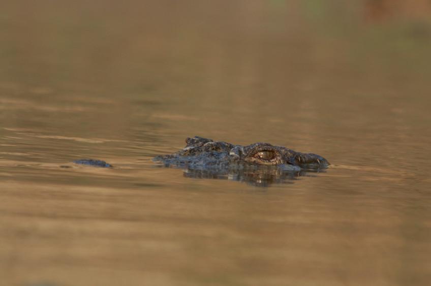 Mugger crocodile (Crocodylus paluster) in Nepal