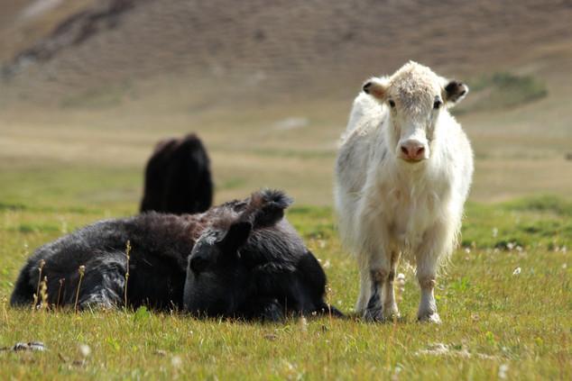 yacks kirghizes