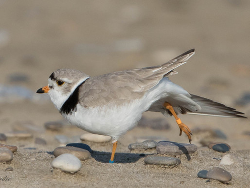 Piping Plovers of Sauble Beach 2018