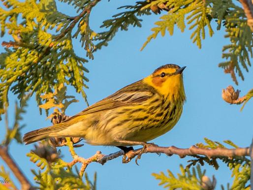 Spring Birds of the Huron Fringe