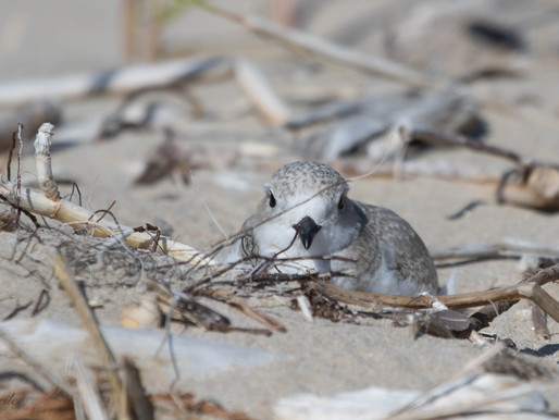 Sauble's Piping Plovers:                   Thoughts and Reflections on the 2018 Season