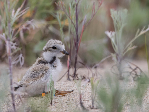 Piping Plovers and Canada Day