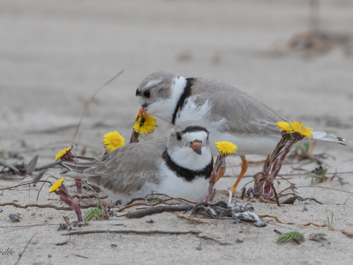 2  Piping Plover Nests on Sauble Beach