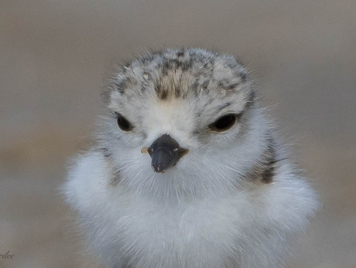 Piping Plover Chicks are Here!