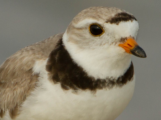 1. Return of the Endangered Piping Plovers