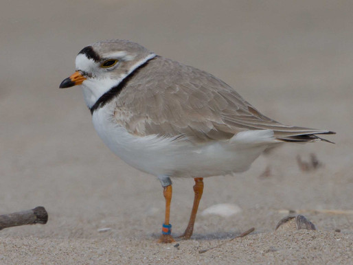 5. Birds and Bands at Sauble Beach