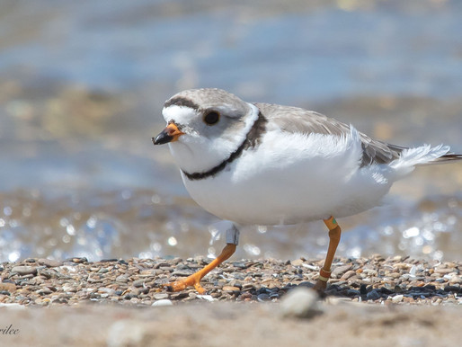 Piping Plovers of Sauble Beach 2019