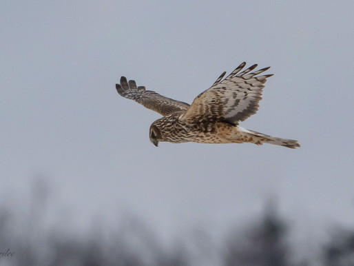 Northern Harriers ... and Friends