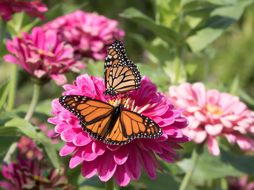 Monarchs...and Memories