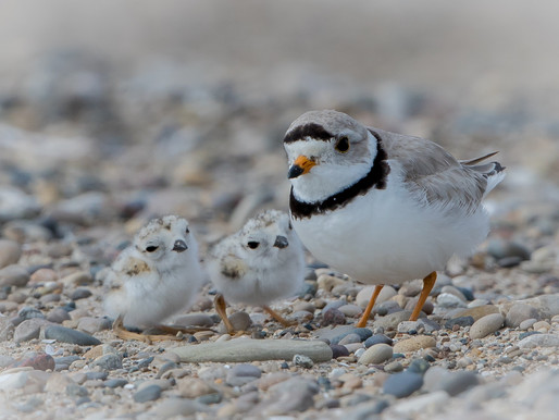 Piping Plover Chick Update