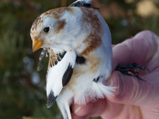 Birds of Winter:  Snow Buntings, Horned Larks and Lapland Longspurs