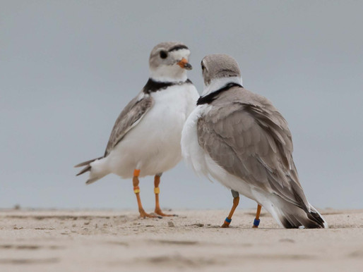 Piping Plovers 2017