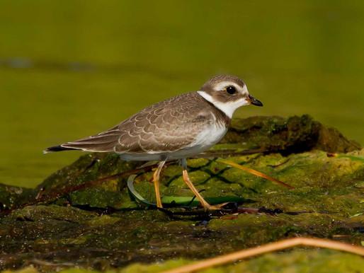 Shorebirds of Late Summer/Early Fall