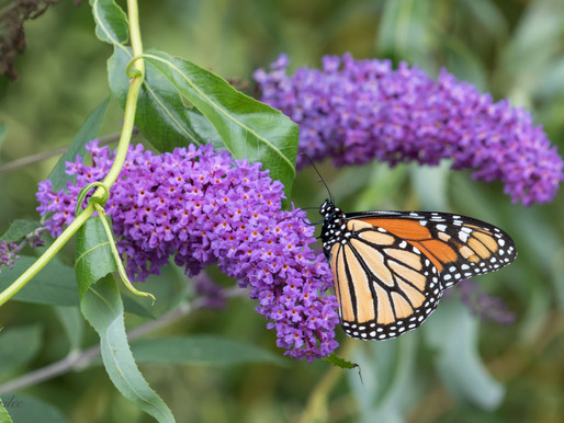 Monarch Migration:                              A Butterfly Bed-and-Breakfast!