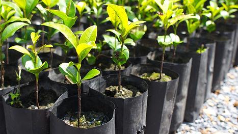 Seedlings in nursery bag