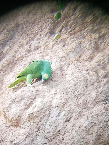 GreenParrot.jpg