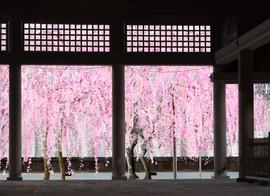 富山護国寺桜