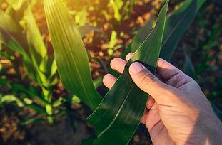 agronomist-examining-corn-maize-crop-leaf-PX93QUG.jpg