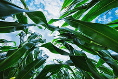 corn-maize-crop-low-angle-4XU3GVH.jpg