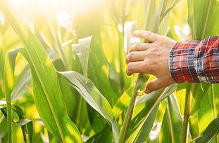 farmers-hand-touching-maize-stalks-at-field-summer-PLK7AZ5.jpg