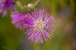 Wild Flowers-524